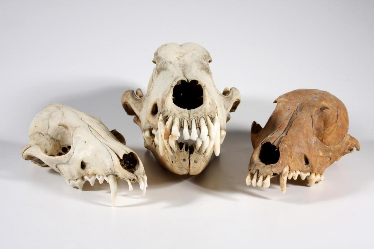 Animal skulls from our zooarchaeology collection